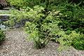 Cephalotaxus sinensis - Longwood Gardens - DSC00777.JPG