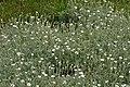 Cerastium tomentosum in Jardin Botanique de l'Aubrac 08.jpg
