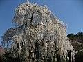 Cerasus spachiana at Ono-dera 01.jpg