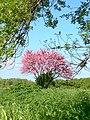 Cercis siliquastrum - arbre de Judée - le Cailar 30 - le long du Vistre.jpeg