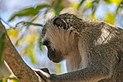 Cercopiteco verde (Chlorocebus pygerythrus), parque nacional Kruger, Sudáfrica, 2018-07-25, DD 39.jpg
