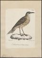 Certhilauda duponti - 1825-1830 - Print - Iconographia Zoologica - Special Collections University of Amsterdam - UBA01 IZ16100371.tif