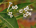 Cestrum diurnum (China Berry) in Hyderabad W2 IMG 7105.jpg
