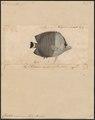 Chaetodon mesoleucus - 1700-1880 - Print - Iconographia Zoologica - Special Collections University of Amsterdam - UBA01 IZ13100170.tif