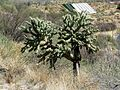 Chain Fruit Cholla - Flickr - treegrow.jpg