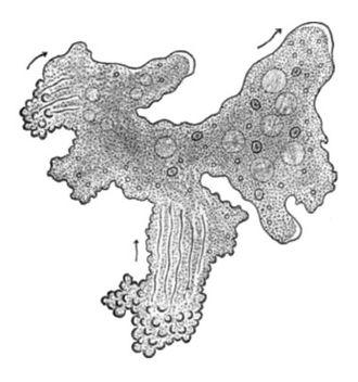 Chaos (genus) - Chaos carolinensis (=Pelomyxa carolinensis), as drawn by H.V. Wilson, 1900