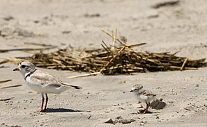 Piping plover - Parent and chick on the Atlantic coast, Cape May, New Jersey, USA