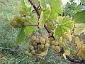 Chardonnay du Jura 001.JPG