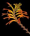 Chasmanthe floribunda 5Dsr 0091.jpg