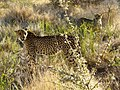 Cheetah (6521900423).jpg