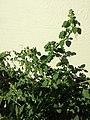 Chenopodium vulvaria sl5.jpg