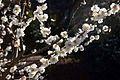 Cherry Blossom (Prunus).jpg
