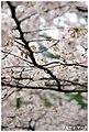Cherry Blossoms At Nara (30207617).jpeg