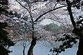 Cherry blossoms 0010 - 2012-03-15 (6848901006).jpg