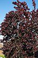 Cherry plum 'Prunus cerasifera' at Boreham, Essex, England.jpg
