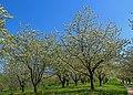 Cherry trees - Sasbach 03.jpg