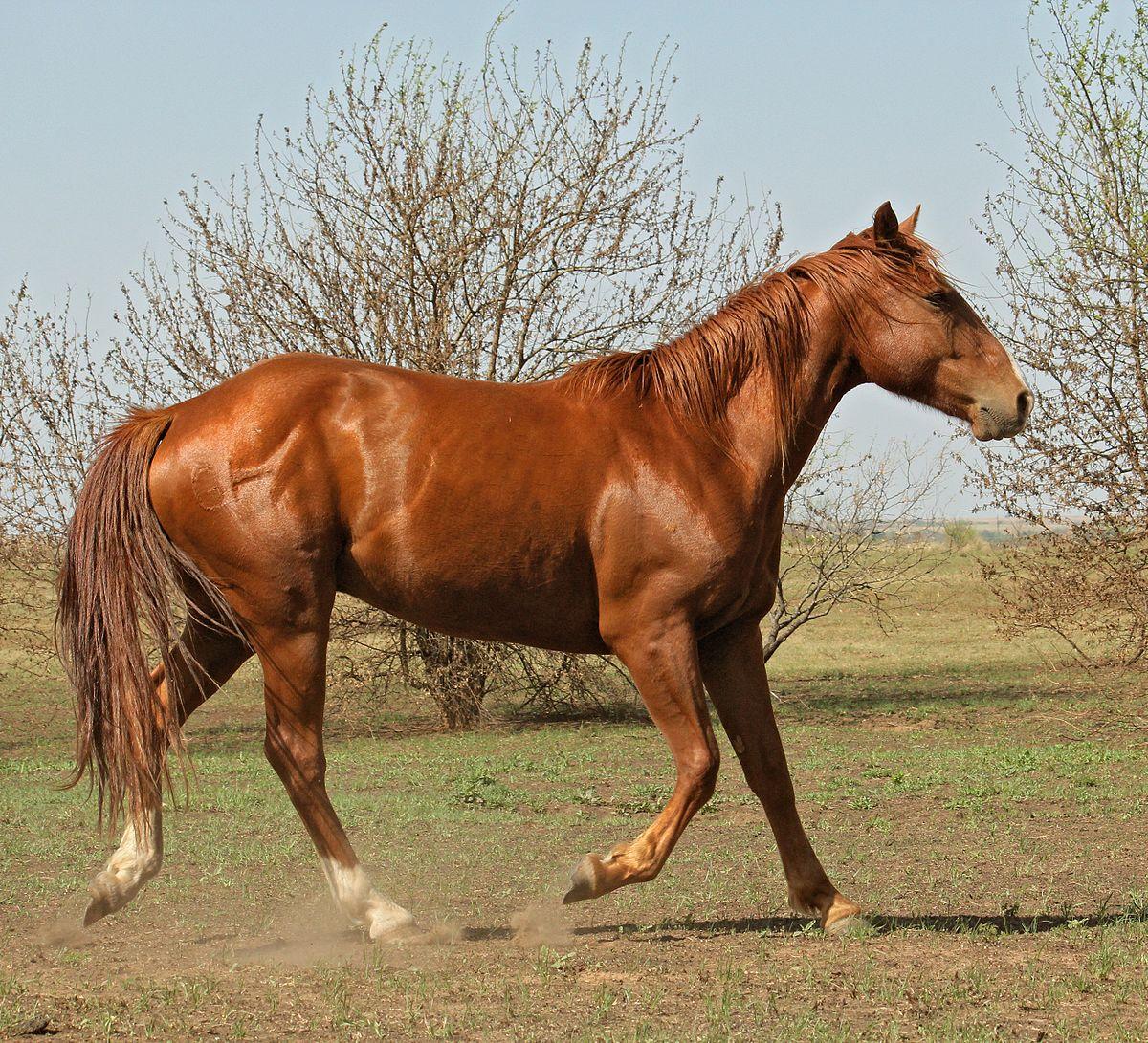 fuks hest