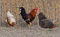 Chickens of Riverlands (30466395892).jpg
