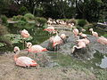 Chilean Flamingos at SF Zoo 4.JPG