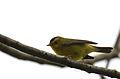 Chipe Corona Negra, Wilson's Warbler, Wilsonia pusilla (11916098504).jpg