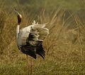 Chirping Crane.jpg