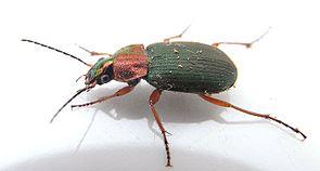 Chlaeniellus nigricornis