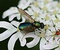 Chloromyia formosa (Broad Centurion) - female - Flickr - S. Rae (5).jpg