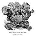 Chou-fleur dur de Hollande Vilmorin-Andrieux 1904.png