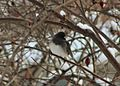 Christmas Junco (30907281203).jpg