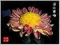 Chrysanthemum Contest3.jpg