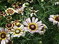 Chrysanthemum from Lalbagh flower show Aug 2013 8348.JPG