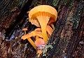 Chrysomphalina aurantiaca (Peck) Redhead 391888.jpg