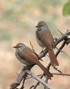 Cichladusa arquata -near Jongomero, Ruaha National Park, Tanzania -two-8.jpg