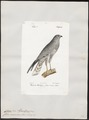 Circus cineraceus - 1842-1848 - Print - Iconographia Zoologica - Special Collections University of Amsterdam - UBA01 IZ18300233.tif