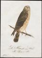 Circus cyaneus - 1800-1812 - Print - Iconographia Zoologica - Special Collections University of Amsterdam - UBA01 IZ18300199.tif