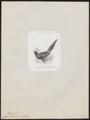 Cissa ornata - 1872 - Print - Iconographia Zoologica - Special Collections University of Amsterdam - UBA01 IZ15700059.tif