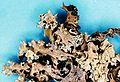 Cladonia caroliniana-2.jpg