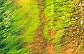 Cladophora glomerata in a wave at Govik 2.jpg
