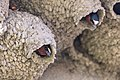 Cliff swallows (Petrochelidon pyrrhonota) on their nest (a3018e38-65a6-48b0-8d66-0a4186edb9d4).jpg