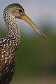 Close up of limpkin (Aramus guarauna) top half.jpg