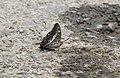 Close wing mudpuddling position of Charaxes solon (Fabricius, 1793) – Black Rajah.jpg