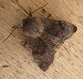Clouded Drab. Orthosia incerta. - Flickr - gailhampshire (3).jpg
