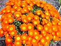 Clump of bright orange flowers.jpg