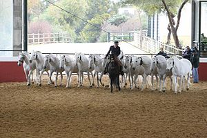Lead (tack) - A group of horses being led together by a single handler