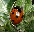 Coccinella septempunctata (7-spot ladybird) - Flickr - S. Rae (4).jpg