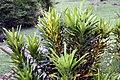 Codiaeum variegatum 29zz.jpg