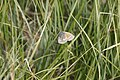 Coenonympha tullia, RNN Remoray - img 25981.jpg