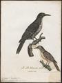 Colaptes olivaceus - 1796-1808 - Print - Iconographia Zoologica - Special Collections University of Amsterdam - UBA01 IZ18700235.tif