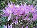 Colchicum autumnale HRM.JPG