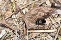 Coleoptera (35679736330).jpg